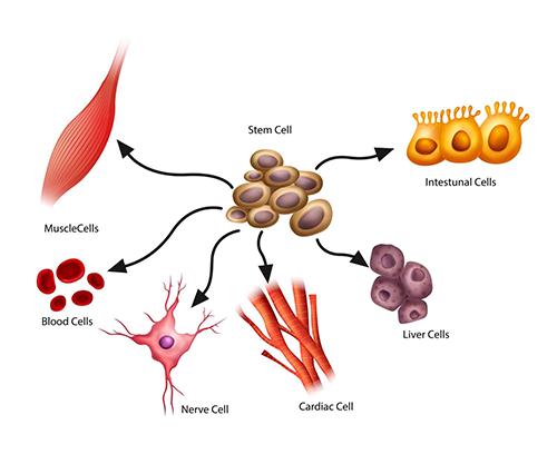 Stem cells | What do stem cells do | IVF Riga Stem Cell Center